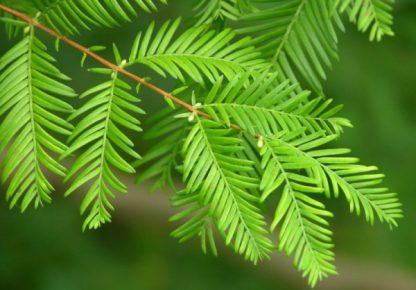 Метасеквоя Metasequoia