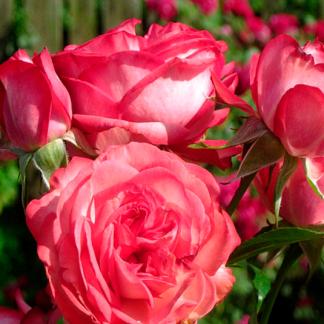 Троянда плетиста Антік
