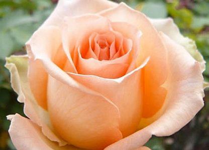Троянда чайно-гібридна Версілія