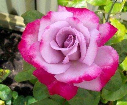 Троянда чайно-гібридна Діп Перпл
