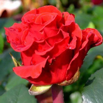 Троянда чайно-гібридна Ель Торо