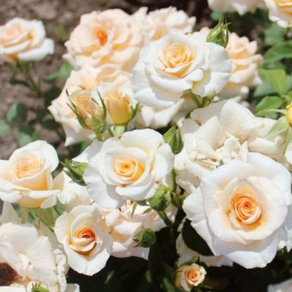 Троянда бордюрана Крем Грація Cream Gracia