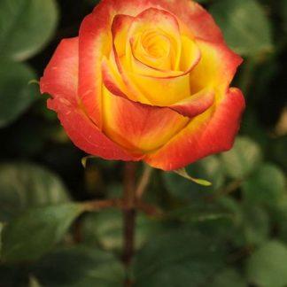 Троянда чайно-гібридна Хай Меджік