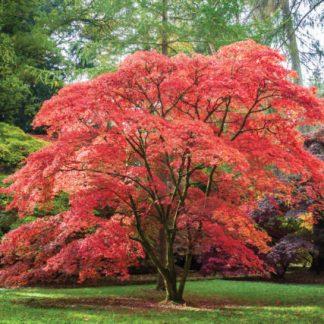 Клен пальмолистий (Acer palmatum)
