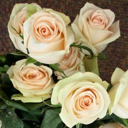 Троянда плетиста Ла Перла