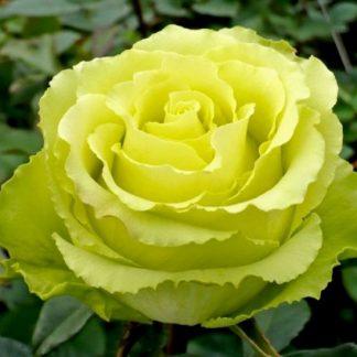 Троянда чайно-гібридна Лімбо