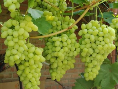 Виноград Флора