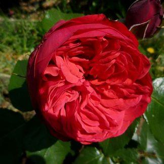 Троянда чайно-гібридна Піано