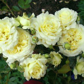 Троянда плетиста Ельф