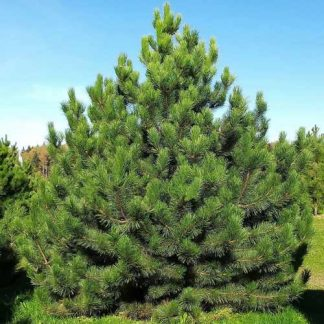 Сосна звичайна Pinus sylvestris