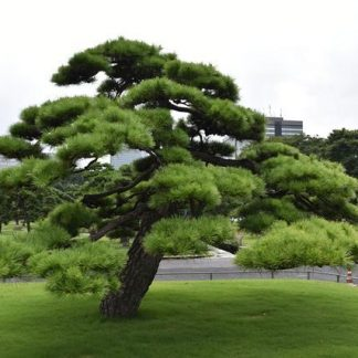 Сосна табуліформіс Pinus tabuliformis
