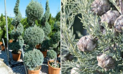 Кипарис арізонський Cupressus arizonica
