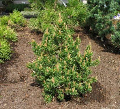 Сосна Банкса Pinus banksiana